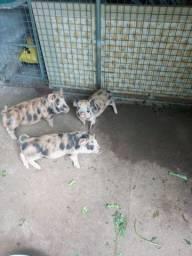 Mini Pig filhotes
