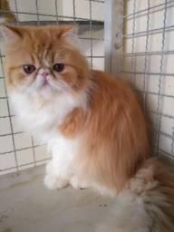 Gato persa macho com pedigree
