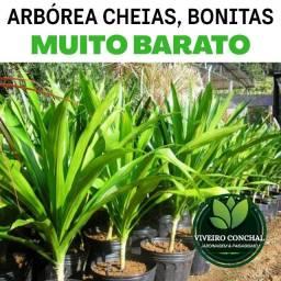 Dracena Arbórea, cheias, bonitas e bem formadas (Muito Barato) - Temos Outras Plantas