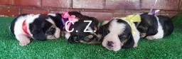 Macho e fêmea de Beagle tricolor. Com garantia, recibo e pedigree