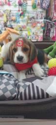 Beagle fêmea  tricolor