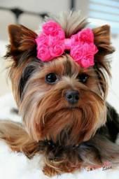 Diversos colorações e tamanhos Yorkshire Terrier