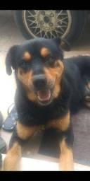 Doação mestiço Rottweiler