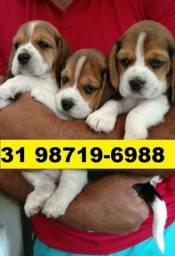 Canil Aqui Cães Filhotes BH Beagle Lhasa Yorkshire Shihtzu Basset Maltês