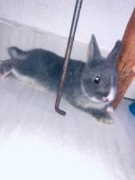 Mini coelho netherland da cor mais rara azul de viena