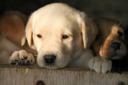 Labrador - Lindos filhotinhos com garantias!