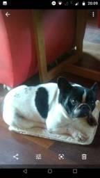 Bulldog francês fêmea top(aceito troca)