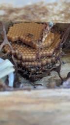Título do anúncio: Caixa para abelha Mitim Guaçu