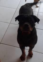 FILHOTES Fêmeas  Rottweiler  06 meses.