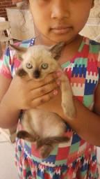 Doação gatos siamês olhos azuis