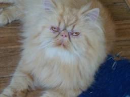 Gatos persas puros, adultos, para companhia