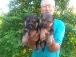 Cachorros pastores alemães
