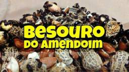 Start de besouros do amendoim OU microvermes da aveia