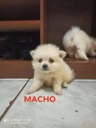 Último Spitz Alemão Macho Micro