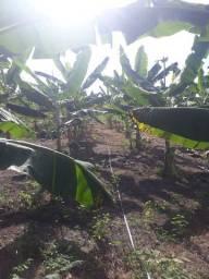 Vendas de mudas de bananas