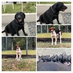 Filhotes Labrador preto