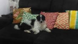 Procuro cachorro porte pequeno para adotar ou comprar, pago até 100 reais.