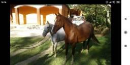 Cavalo paulista alazão frente aberta calado das 4. Vendo ou troco 5 mil