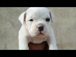 Amigo e companheiro: Filhotes de Pitbull em 12x!