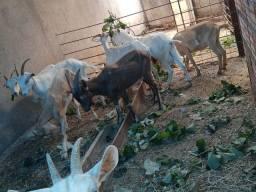 Cabras Sannen e togenburg