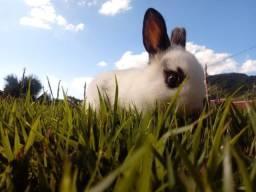 Vendo dois filhotes de coelhos