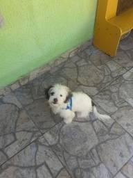 Lindo filhote de Lhasa Apso, com 6 meses de vida