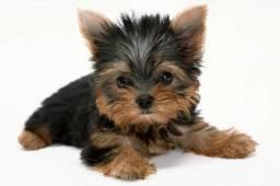 Yorkshire terrier cachorrinho, 8 semanas de idade