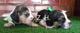 Lindos Beagle, com pedigree e garantia de saúde