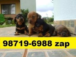 Canil Filhotes Cães BH Líder Basset Beagle Shihtzu Lhasa Poodle Yorkshire Maltês