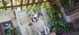 Bulldog francês 1 ano e 5 meses