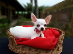 Chihuahua Macho - Canil Gluck Kautzner
