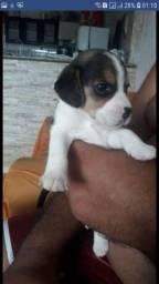 Filhote de beagle puro bicolor e tricolor