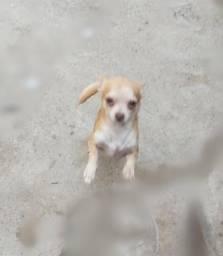 Chihuahua com Pincher