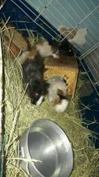 4 porquinhos da Índia peruano