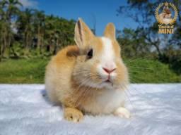 Mini coelhos holândes