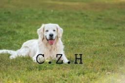 Raça pura de Golden Retriever. Com pedigree de qualidade e garantia de saúde
