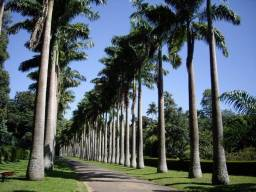 Mudas de Palmeira Imperial com + de 2,2 metros