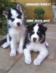 Husky Siberiano : Machos Diferenciados Pelagem Longa