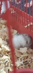 Filhote de hamster anão