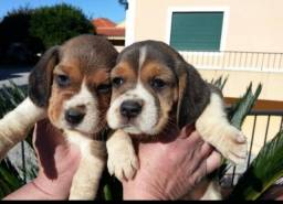 Beagle mini com pedigree
