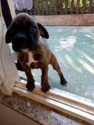 Filhote Boxer