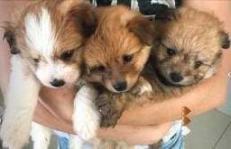 Título do anúncio: Vendo filhotes de Spitz Alemão com Poodle