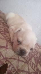 Vendo filhote de Bulldog francês macho .