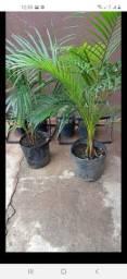 Mudas palmeiras