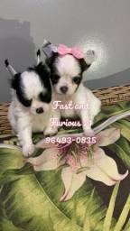 Lindos bebezinhos de Chihuahua Pêlo longo. Vacinado/pedigree