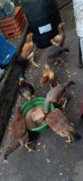Vendo galinhas caipiras para chacara