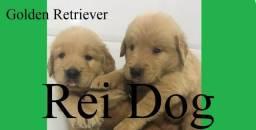Golden Retriever de excelente linhagem - Rei Dog Filhotes Aracaju/SE