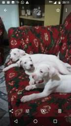 Dogo filhotes