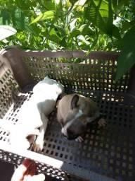 Filhote a venda Bulldog francês