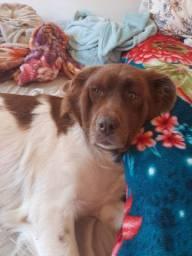 Doa-se linda cadela labrador misturada com Golden retriver
